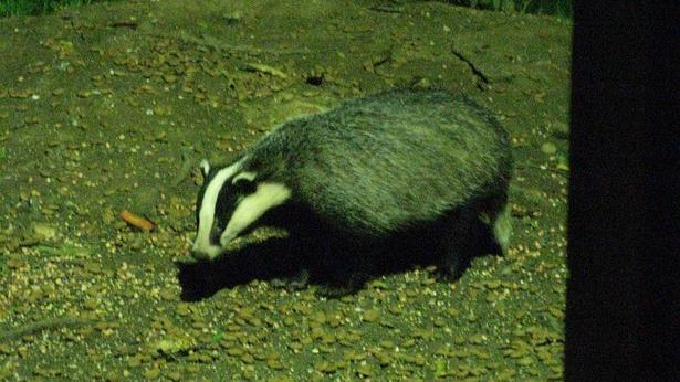 firearm_uk_badger_cull.jpg